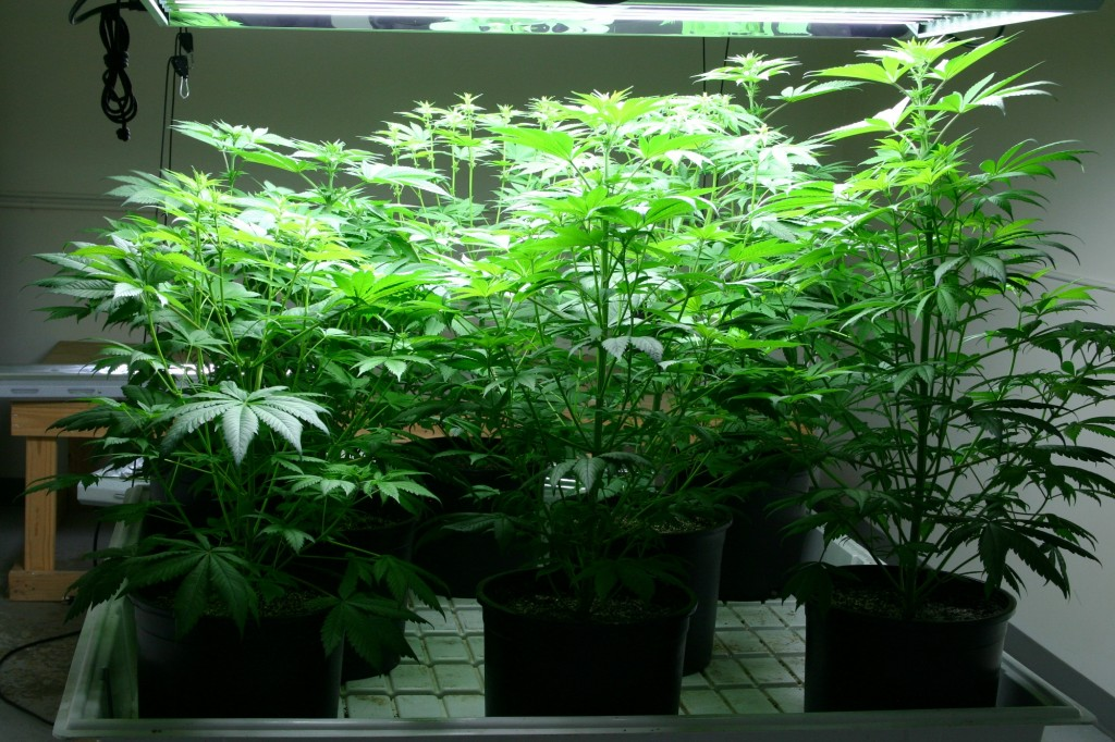 What Are The Best Soil Amendments For Cannabis