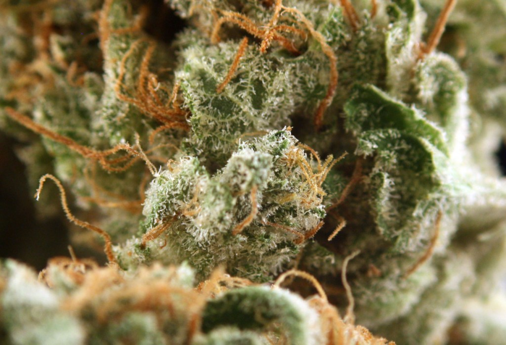 Gorilla Glue Weed Strain is SSL