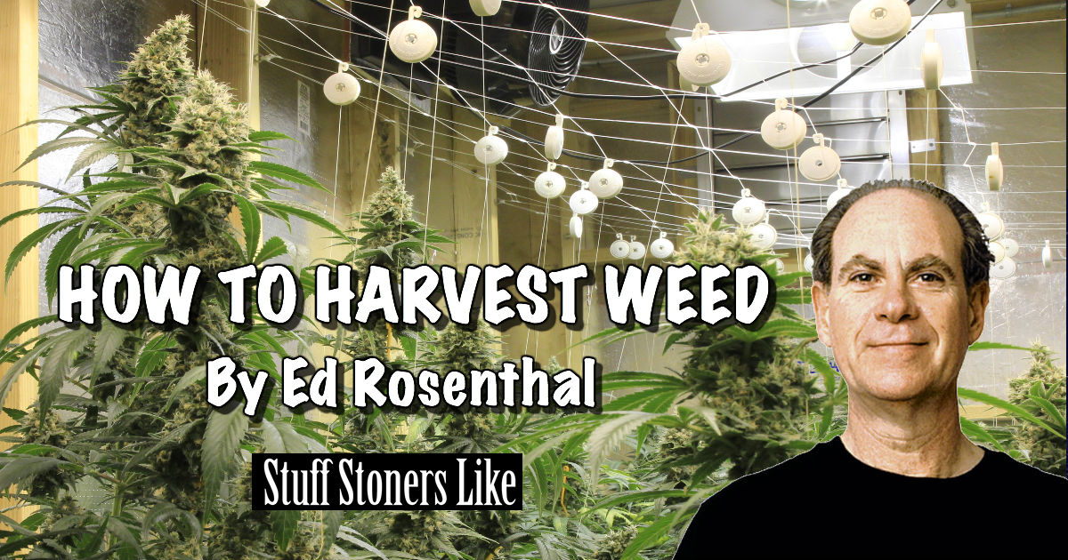 how to know when to harvest a weed plant