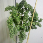 sour diesel marijuana strain hanging up drying