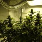 beautiful marijuana garden grow op
