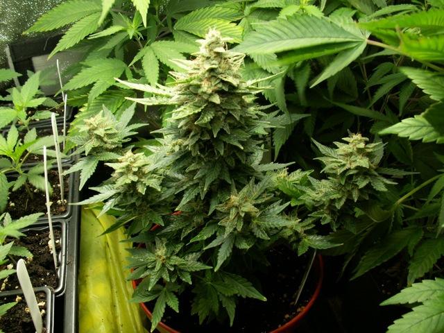 How to Flush Marijuana Plants Grown in Soil
