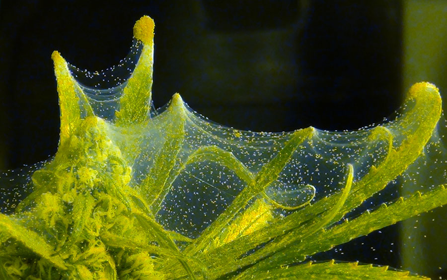 How to Treat Spider Mites