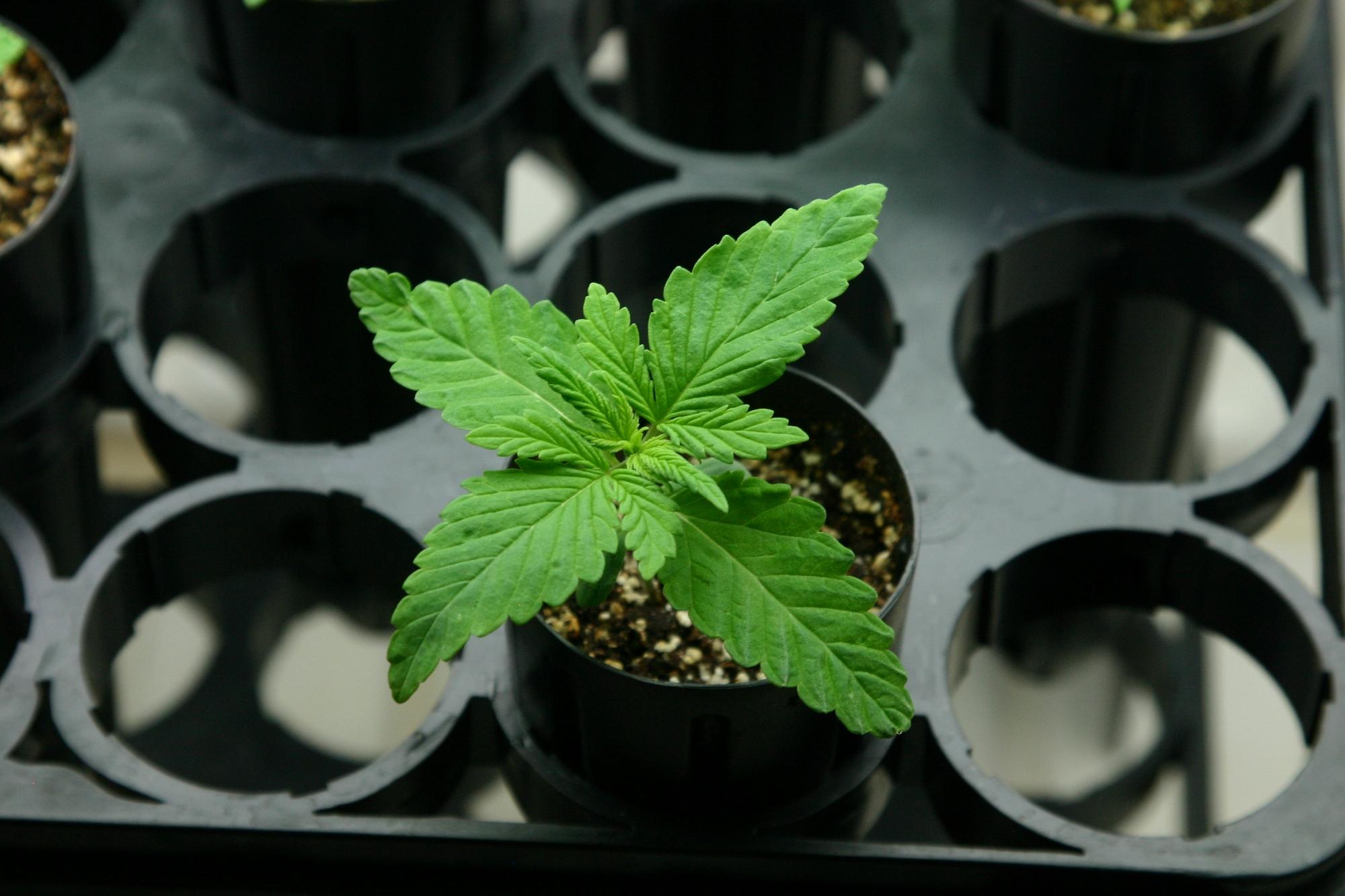 How to Water Marijuana Seedlings 3