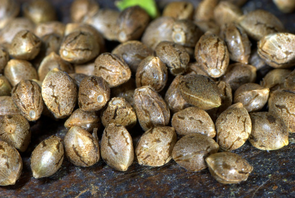 start your weed plant from seed