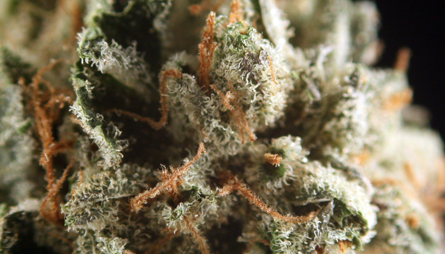 Trichomes weed