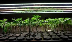 cloning cannabis
