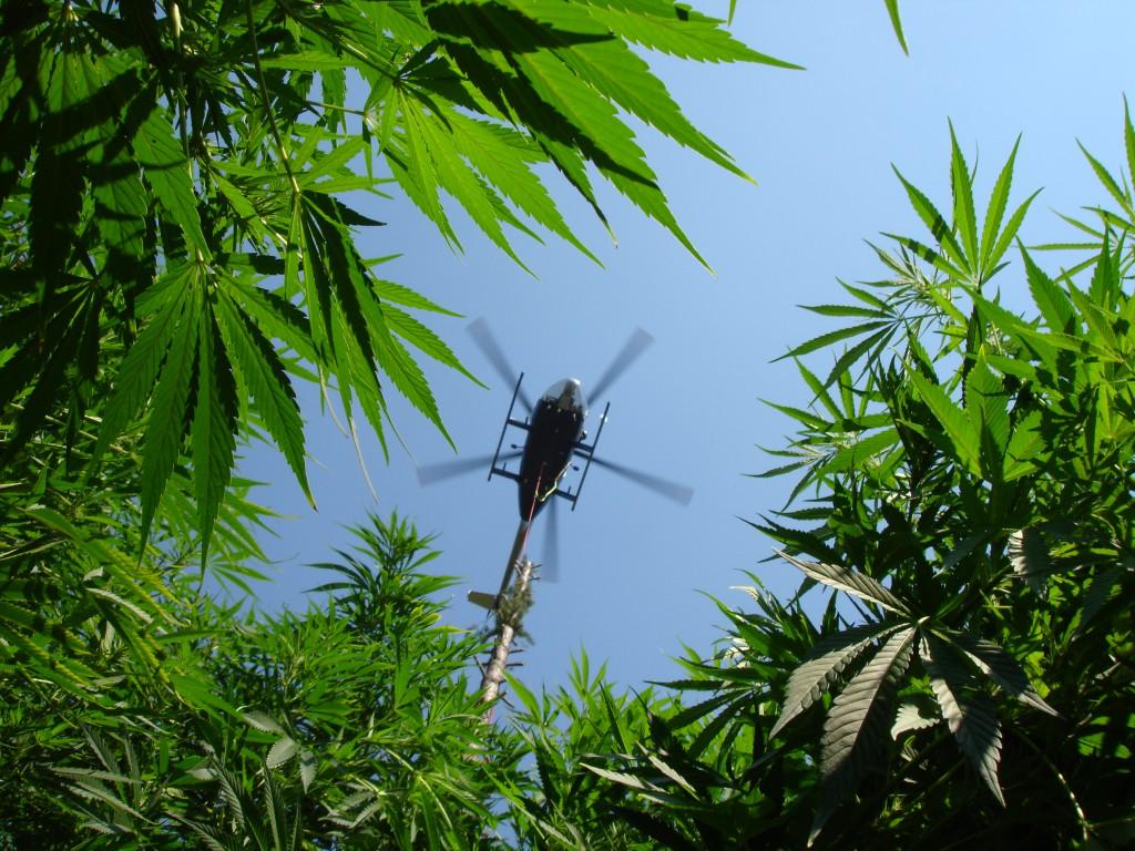 Maui Marijuana Threatened by Don Shearer